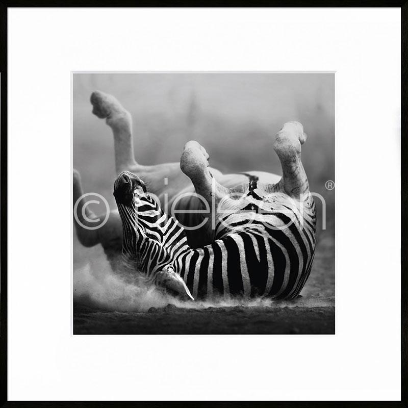 """Beeld met lijst """"Zebra lying"""" met lijst van aluminium C2"""